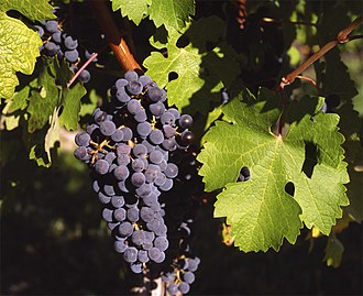 Lists of cultivars - Cabernet Sauvignon grapes in Gaillac, France