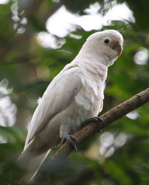 Cacatua goffiniana -in tree-6