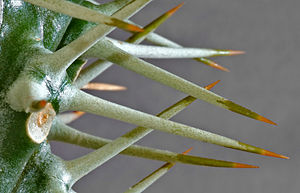 Târnava River - Image: Cactus Spines (aka)