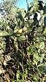 Cactus in Bhojpur.jpg