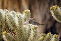 Cactus wren (Campylorhynchus brunneicapillus) building a nest - 12937904435.jpg