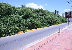 Maior cajueiro do mundo - View from intersecting road Rota do Sol (en: Route of the Sun).
