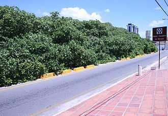 Cashew of Pirangi - View from intersecting road Rota do Sol (en: Route of the Sun).