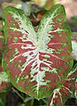 Caladium 'Creamsickle' Leaf.JPG