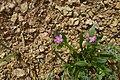 Calandrinia ciliata, (C. brewerii^) Red Maids Sonoran Desert, Late Winter 2013 - panoramio.jpg