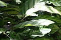 Calathea louisae 11zz.jpg