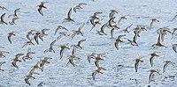 Calidris alpina flock Sam Smith Park.jpg