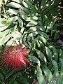 Calliadra grandiflora-piękna roślina.jpg