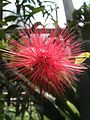 Calliandra emarginata (7557550890).jpg