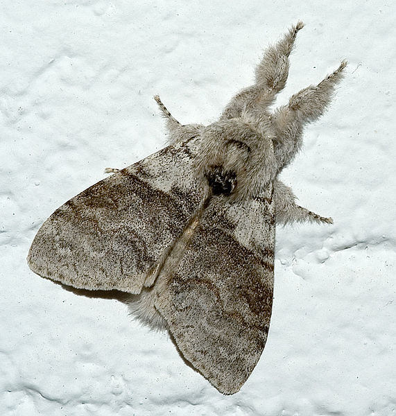 Papillon Patte-étendue ou Pudibonde....