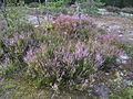 Calluna vulgaris, Görvälns naturreservat, 2015b.jpg
