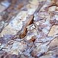 Caloptilia stigmatella (36953673745).jpg
