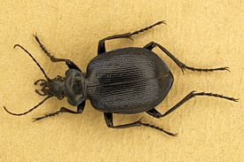 Calosoma inquisitor 3.jpg