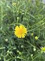 Calotis lappulacea flower.jpg