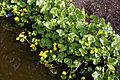 Caltha palustris 'marsh marigold' at RHS Garden Hyde Hall, Essex, England 04.jpg