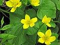 Caltha palustris (marsh marigold) (Gooseberry Falls State Park, Minnesota, USA) 3 (21890478823).jpg