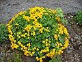 Caltha palustris f. flore pleno (fyllt hófsóley).jpg