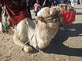 Camel - ഒട്ടകം 01.JPG