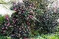 Camellia 'November Pink' at RHS Garden Hyde Hall, Essex, England 02.jpg