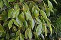 Camellia reticulata 01.jpg