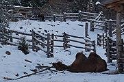 Camelus bactrianus in Zurich Zoo 2.jpg