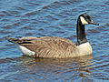 Canada Goose Cape May RWD.jpg