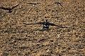 Canada goose - Branta canadensis (44160577894).jpg