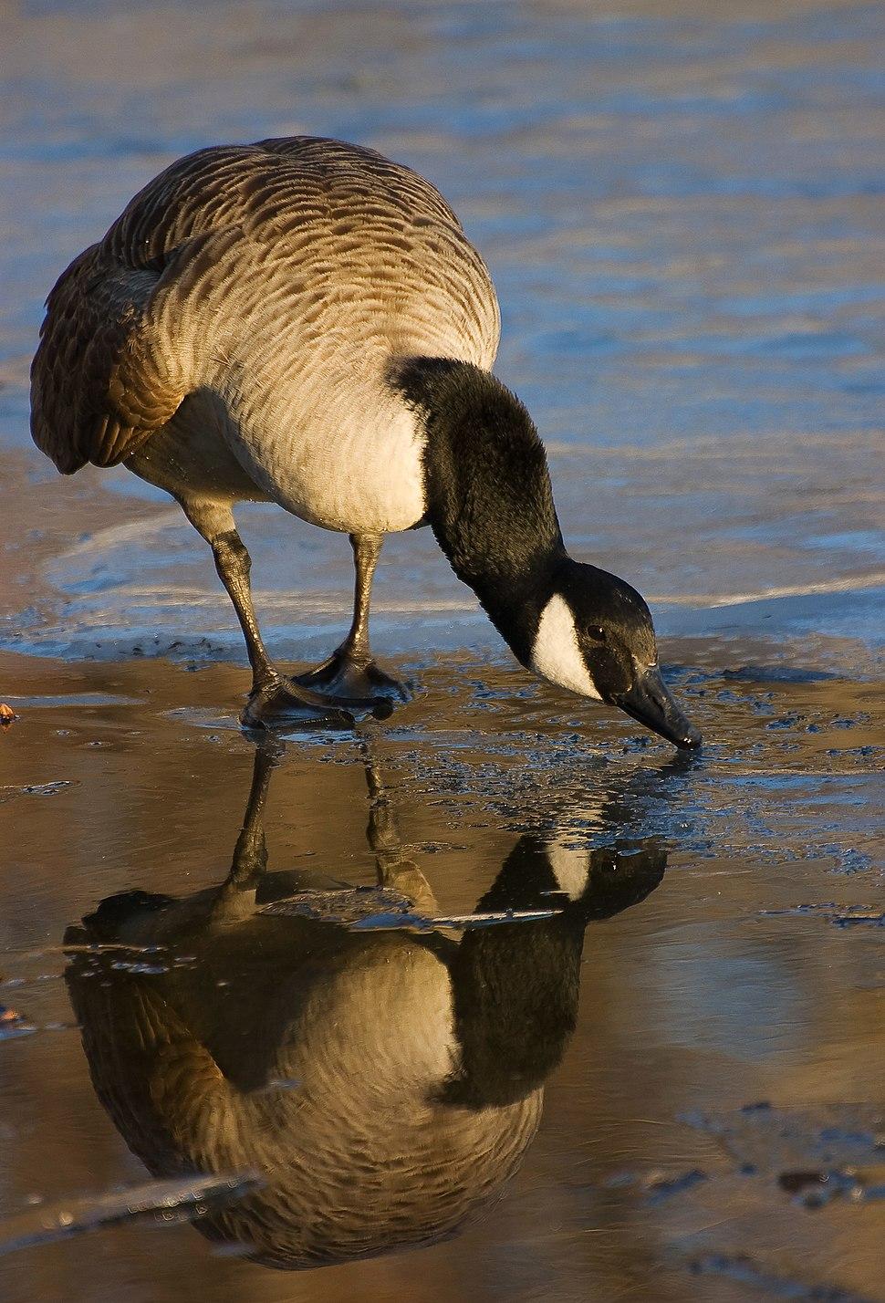 Canada goose reflection 03