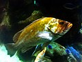 Canary rockfish 2013-09-13 11-27.jpg