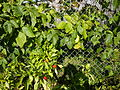 Canavalia gladiata and peppers - P1100578.JPG