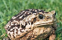 A large, adult cane toad, showing the light colouration present in some specimens of the species