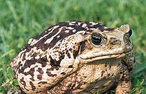 Cane toad - Light-coloured cane toad