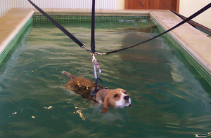 Canine hydrotherapy - A Beagle swimming in a harness in a hydrotherapy pool
