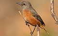 Cape Rock Thrush, Monticola rupestris, at Walter Sisulu National Botanical Garden, Gauteng, South Africa (28788561013).jpg