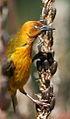 Cape Weaver, Ploceus capensis at Walter Sisulu National Botanical Garden - male (9645112477).jpg