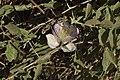 Capparis spinosa 03 01.jpg