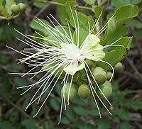 Capparis tomentosa flower Ilanda 08 09 2010