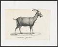 Capra hircus - 1700-1880 - Print - Iconographia Zoologica - Special Collections University of Amsterdam - UBA01 IZ21300205.tif