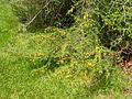 Caragana pygmaea (5182427794).jpg