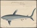 Carcharias maou - 1700-1880 - Print - Iconographia Zoologica - Special Collections University of Amsterdam - UBA01 IZ14100041.tif
