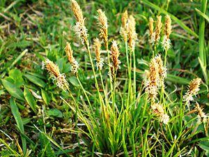 Carex caryophyllea (Ankstyvoji viksva) 002.JPG