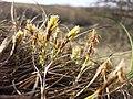 Carex humilis sl32.jpg