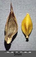 Carex melanostachya sl49.jpg