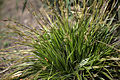 Carex morrowii 'Variegata' plant 02.jpg