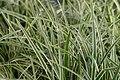Carex morrowii Ice Dance 0zz.jpg