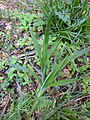 Carex pendula plant (7).jpg