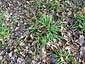 Carex sylvatica plant (11).jpg