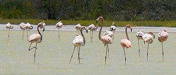 Caribbean Flamingos, many standing on one leg, in Lago de Oviedo, Dominican Republic.