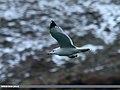 Caspian Gull (Larus cachinnans) (23161092934).jpg