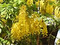Cassia fistula flowers by Dr. Raju Kasambe DSCN4427 01.jpg